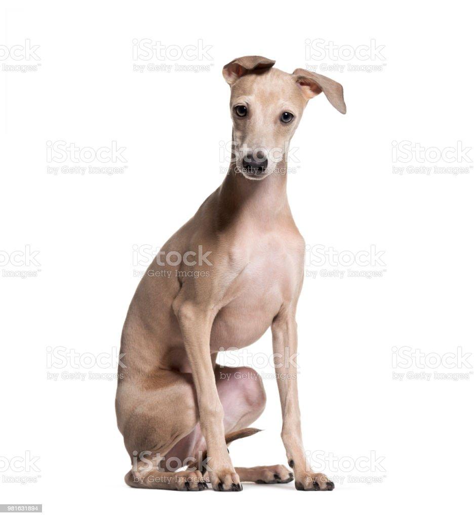 Italian Greyhound puppy, 4 months old, sitting against white background stock photo