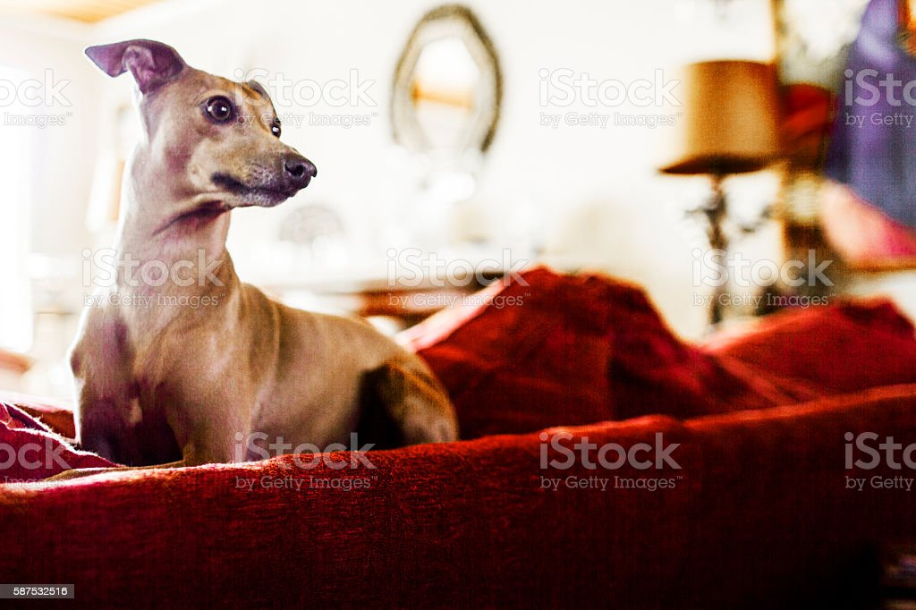 Italian Greyhound resting on a large sofa stock photo