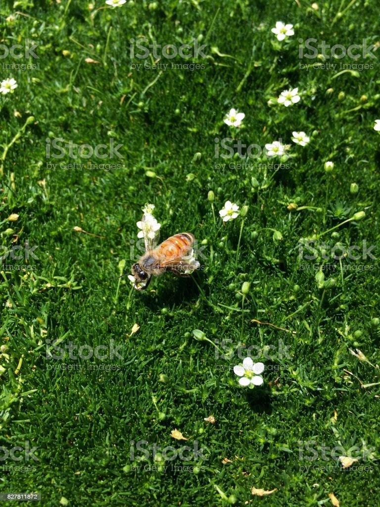 Italian Honey Bee On Tiny White Flowers On Green Moss Like Short