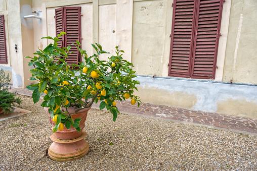 Italian Lemon tree