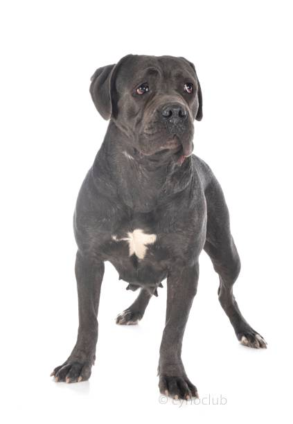 italian mastiff italian mastiff in front of white background cane corso stock pictures, royalty-free photos & images