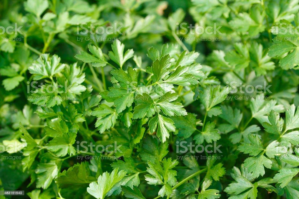 Italian parsley Italian parsley (flat-leaf parsley) background 2015 Stock Photo