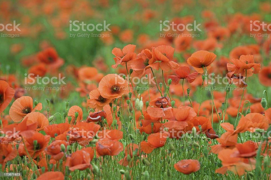 italian poppy field stock photo