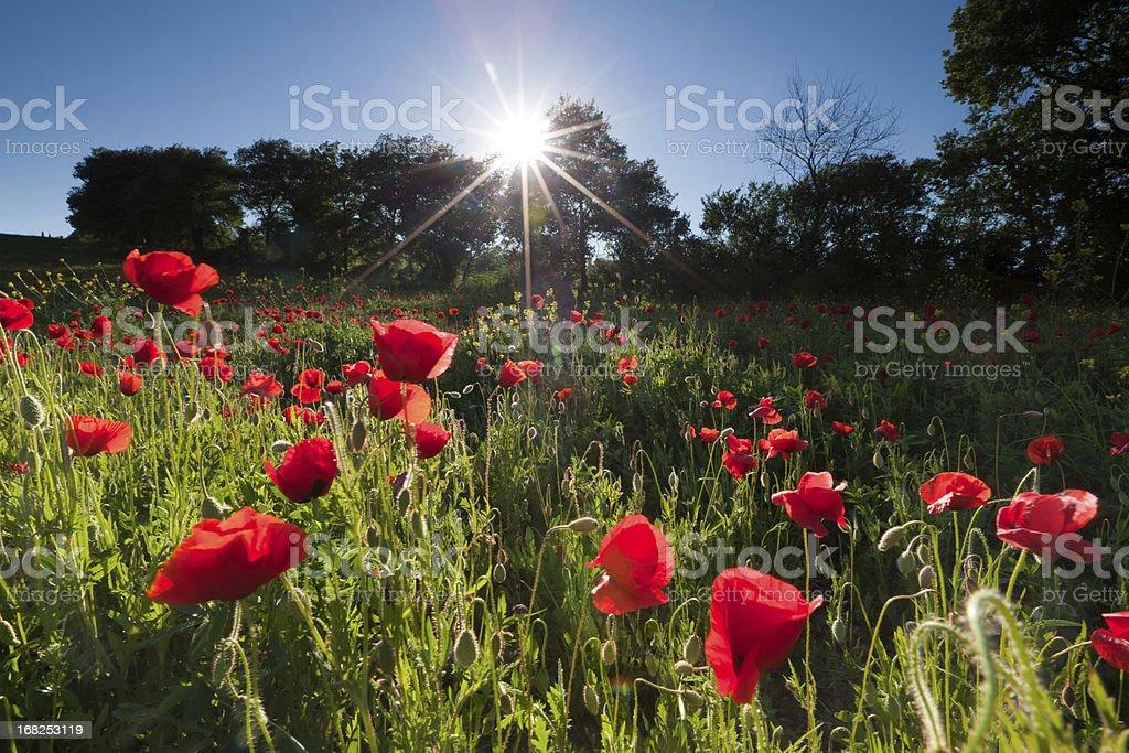 italian poppy meadow in tuscany with backlight stock photo
