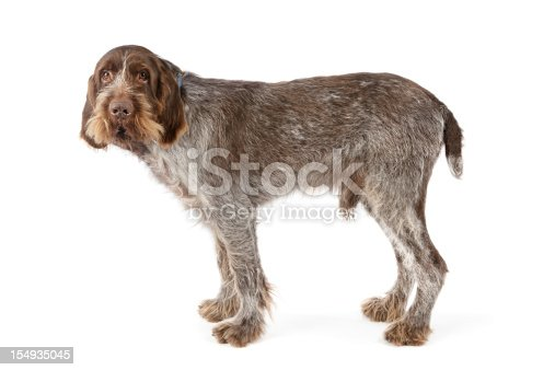 Italian Spinone breed dog on white backgroundTired looking old dog isolated on white with a little bit of shadow.