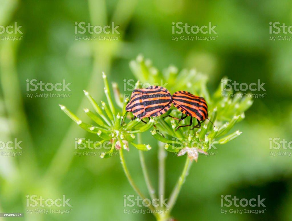 Italian striped bugs stock photo
