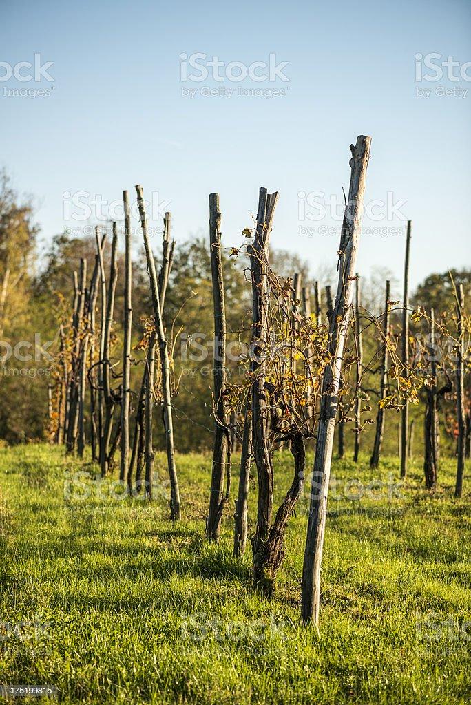 Italian vineyard in autumn royalty-free stock photo