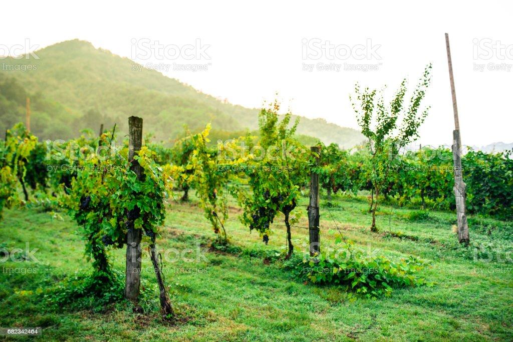 Italiaanse wijngaard royalty free stockfoto
