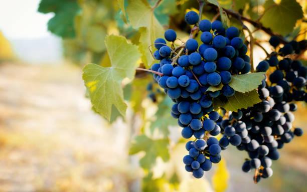 italienischen weinberge der langhe - traubensorten stock-fotos und bilder