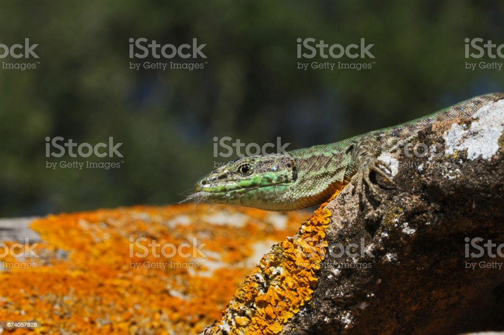 Italian wall lizard close up Latin name podarcis sicula muralis with kitten fur in its mouth on a roof tile or pantile in Italy royalty-free stock photo