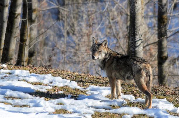 italian wolf (canis lupus italicus) - 알프마리팀 뉴스 사진 이미지