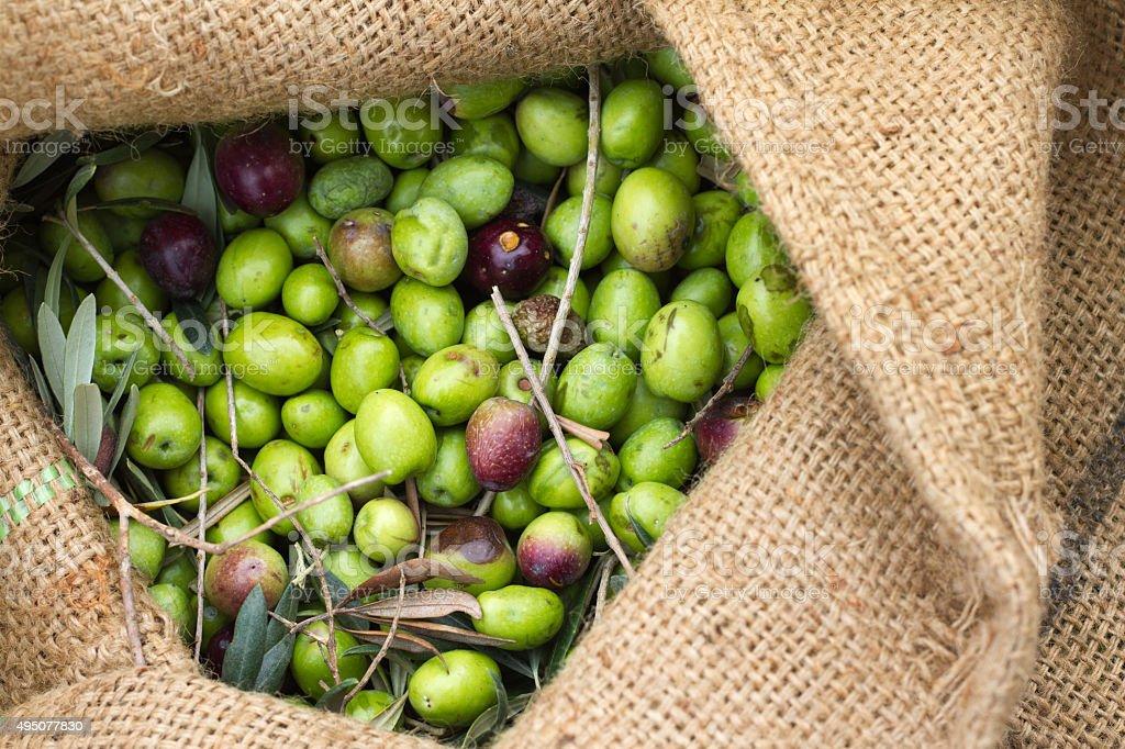 Italy Olive Harvest: Fresh-Picked Olives in Burlap Sack (Close-Up) stock photo