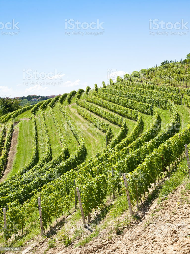 Italy - Piedmont region. Barbera vineyard stock photo