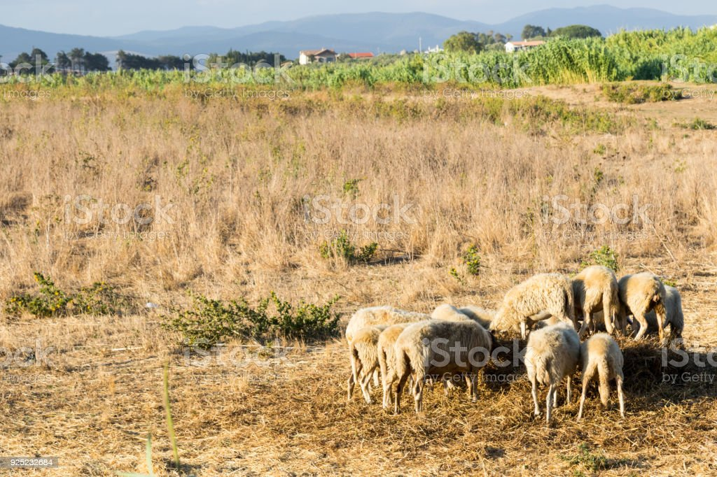 Italy, Tuscany, August 2016 - a typical Tuscan landscape where sheep are raised. stock photo