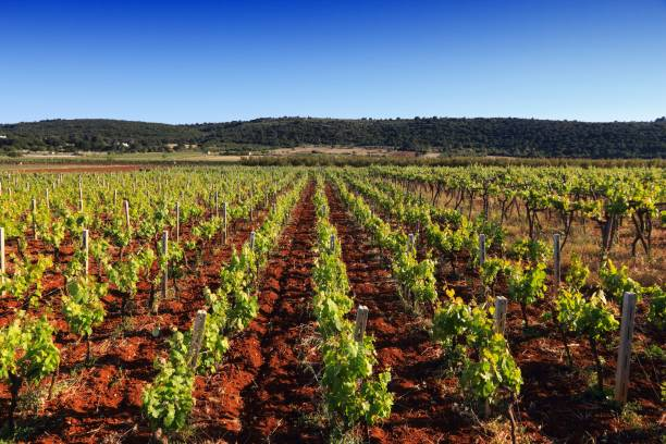Italy vineyard stock photo