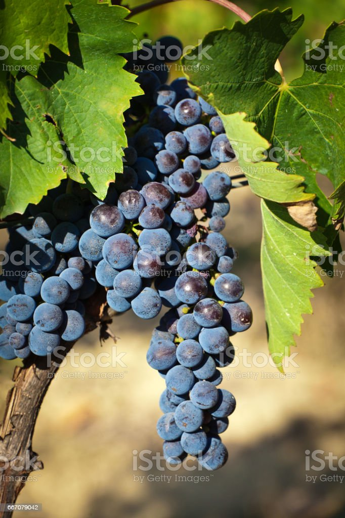 Italy Wine Grape Sangiovese in the Tuscan Country Side stock photo
