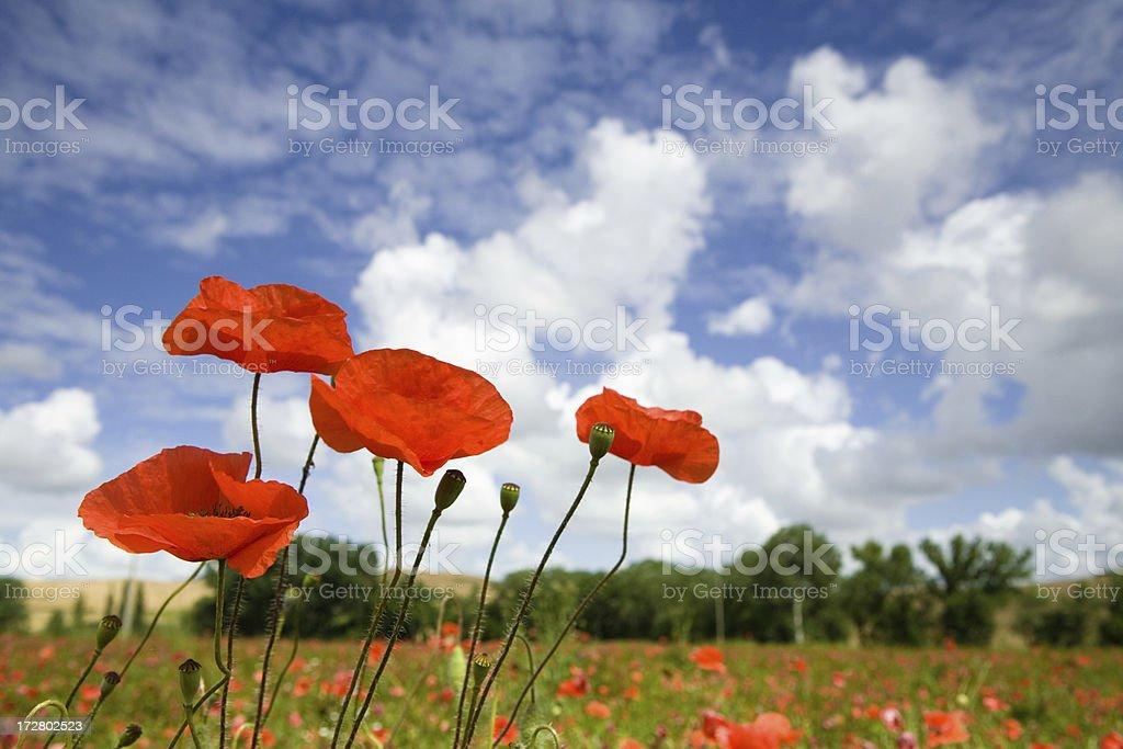 italyan poppy field stock photo