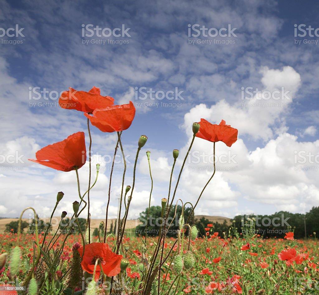 italyan poppys stock photo