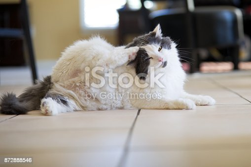A white and gray cat scratching her head with her back paw.