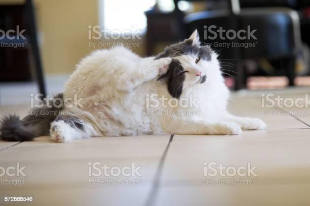 Itchy cat scratching head wtih paw picture id872888546?b=1&k=6&m=872888546&s=612x612&h=retkrjatk70vtgudr0nhwhaf1g deu4xh93zigchbws=