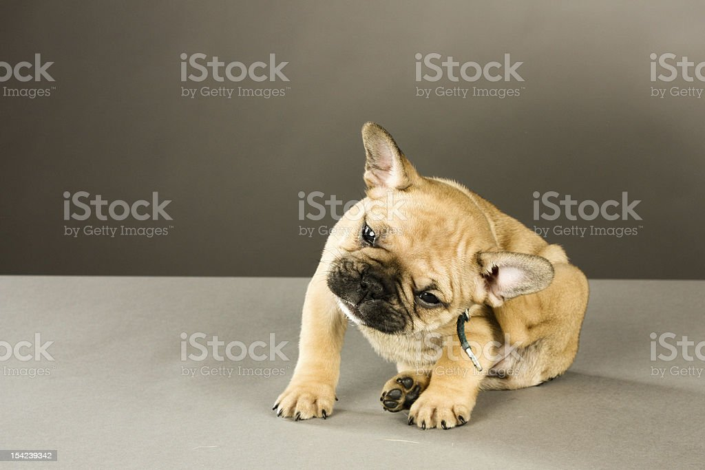 Itchy a cute six week old French Bulldog puppy scratches an itch by his collar Animal Stock Photo
