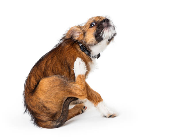 Itchy Terrier Puppy Dog Scratching stock photo