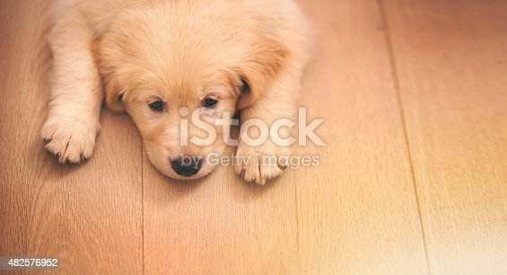 Shot of an adorable golden retriever puppy lying on a wooden floorhttp://195.154.178.81/DATA/i_collage/pi/shoots/783492.jpg