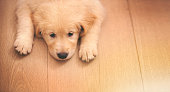 Shot of an adorable golden retriever puppy lying on a wooden floorhttp://195.154.178.81/DATA/i_collage/pi/shoots/783492.jpg