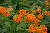 asclepias, tuberosa, orange, vibrant, colour, flower, flower bed, park, garden, bunch, turf, nature, flowers, yellow, plant, marigold, green, summer, red, blossom, beautiful, spring, flora, floral, bloom, tagetes, beauty, color, leaf, field, petal, natural