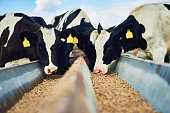 Cropped shot of a herd of cows feeding on a dairy farm