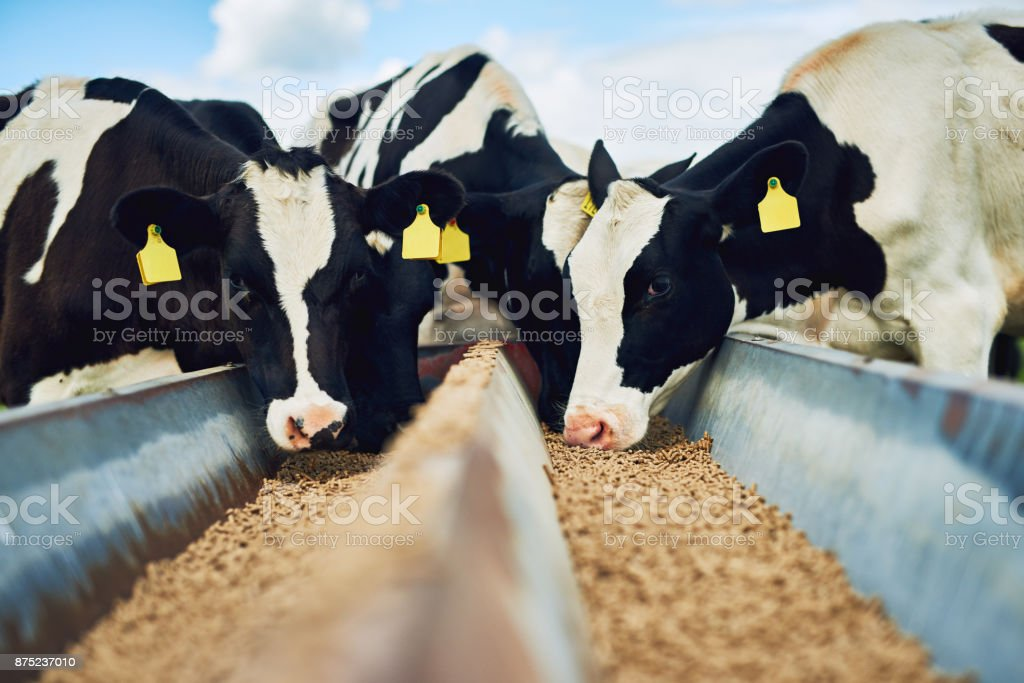It's only the best for these cows stock photo