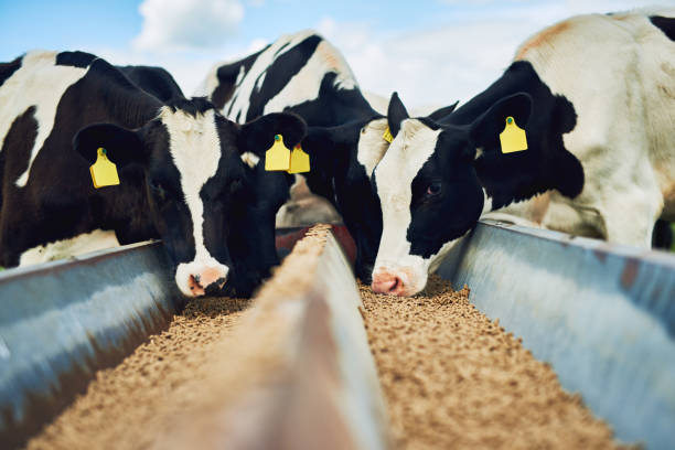 It's only the best for these cows Cropped shot of a herd of cows feeding on a dairy farm herbivorous stock pictures, royalty-free photos & images