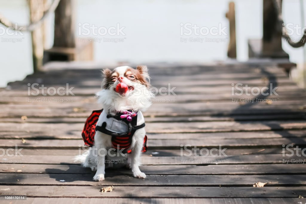 It\'s smile, It\'s happy, Chichuchu dog, chocolate and white color dog,...