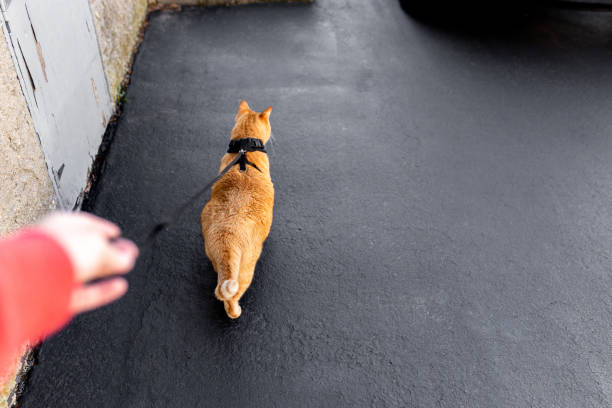 it's spring, let's take a walk - cat leash stock photos and pictures