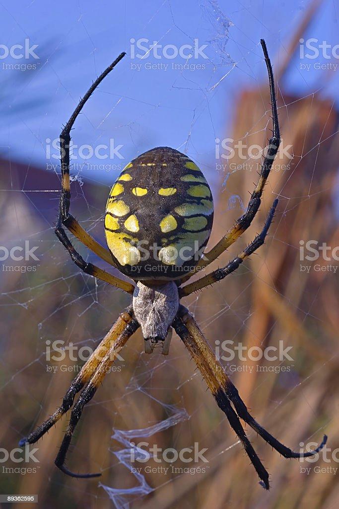 Araignée bitsy miniature est suspendue dans l'air photo libre de droits