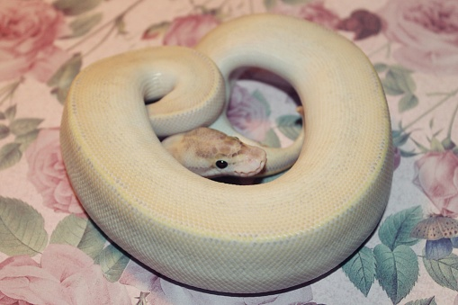 Ivory Ball Python On Floral Stock Photo Download Image Now Istock