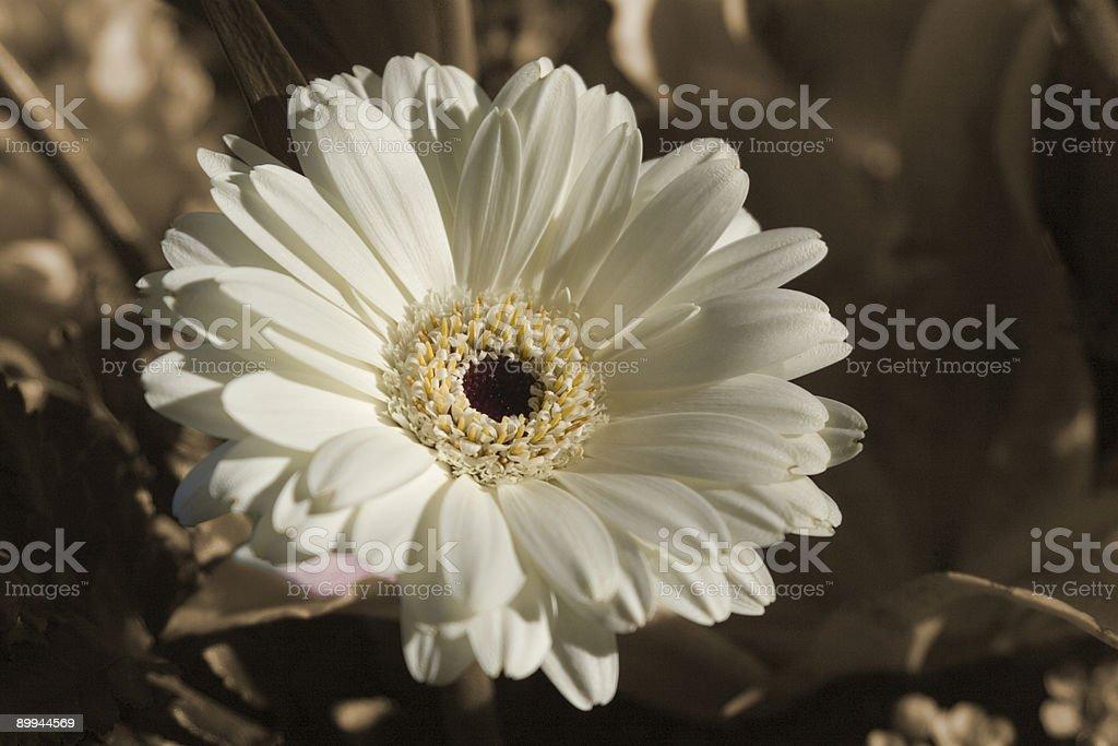 Ivory Gerber Daisy stock photo