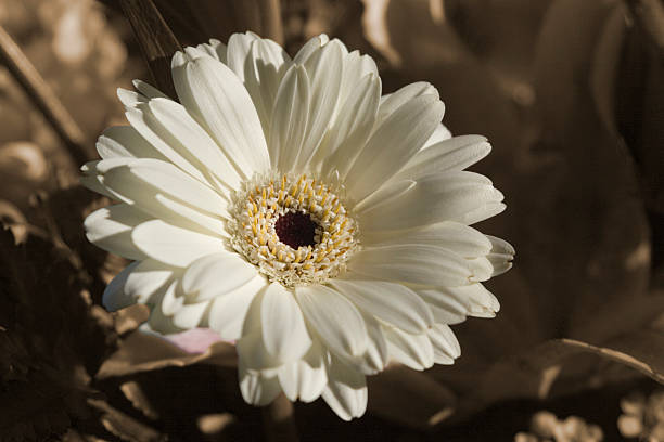 Ivory Gerber Daisy stock photo