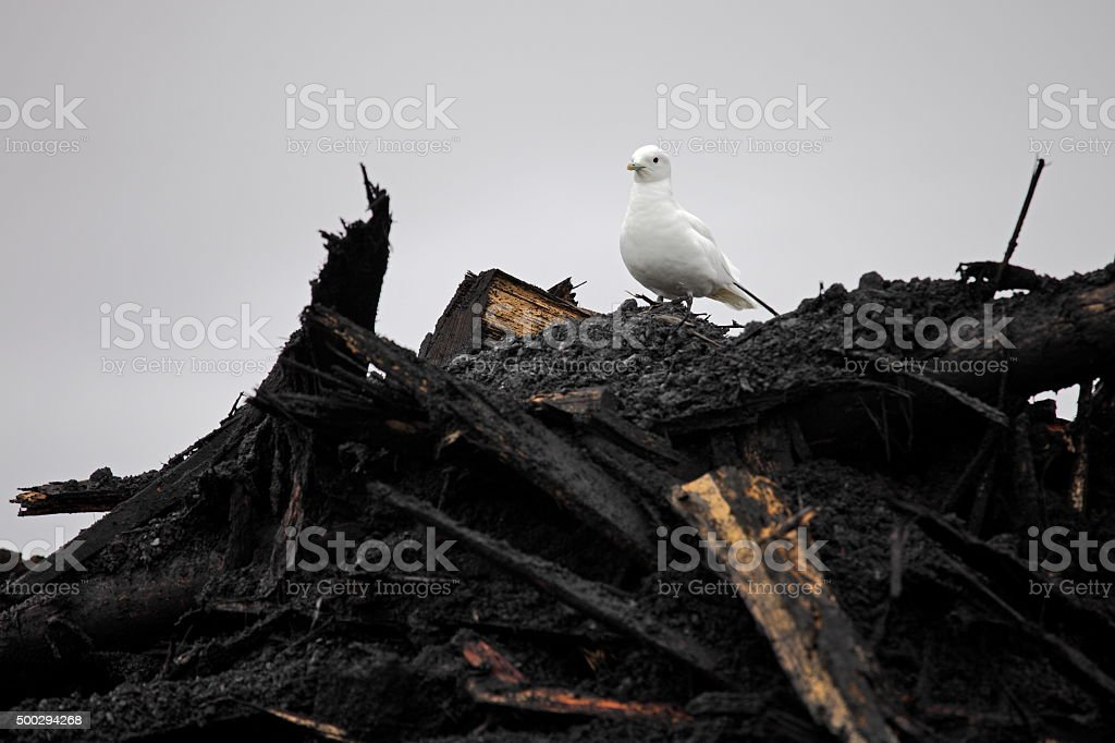 Ivory Gull (Pagophila eburnean) on  top of industrial waste stock photo