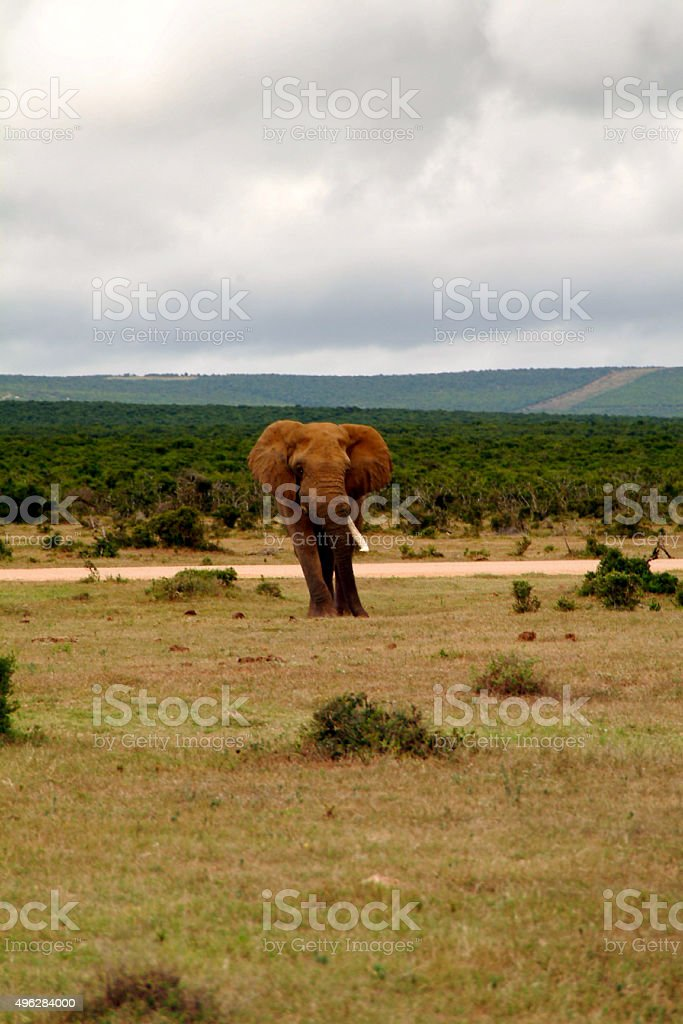 Ivory hunt stock photo