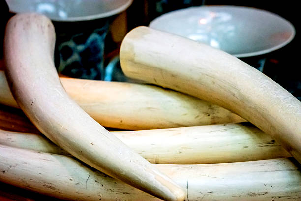Ivory Ivory tusk stock pictures, royalty-free photos & images