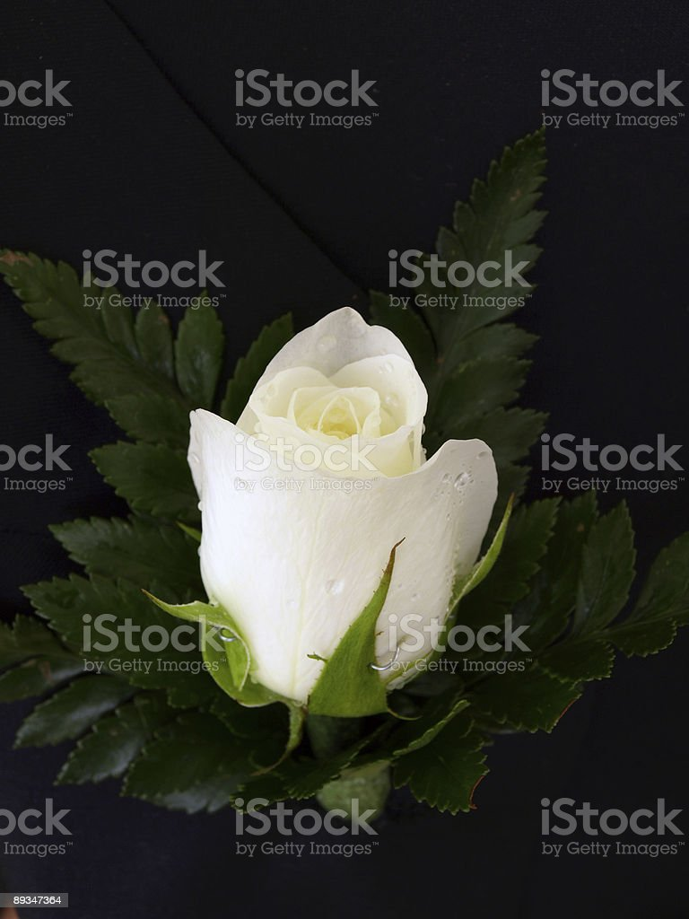 Ivory Rose Button Hole royalty-free stock photo