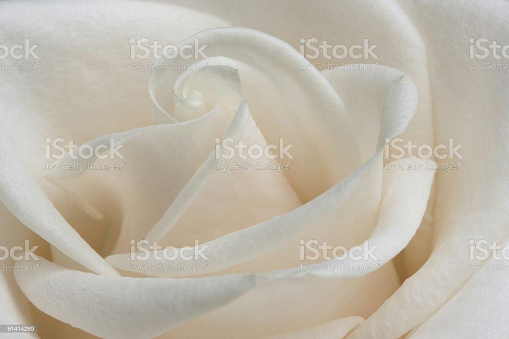 Ivory Rose stock photo