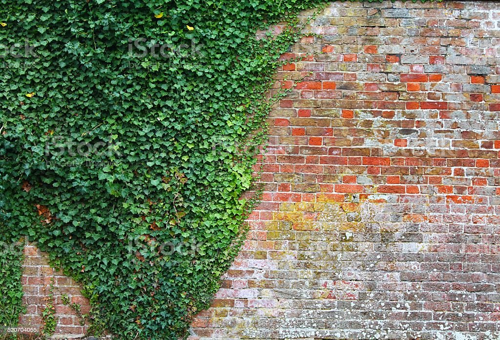 Ivy and old brick wall background stock photo