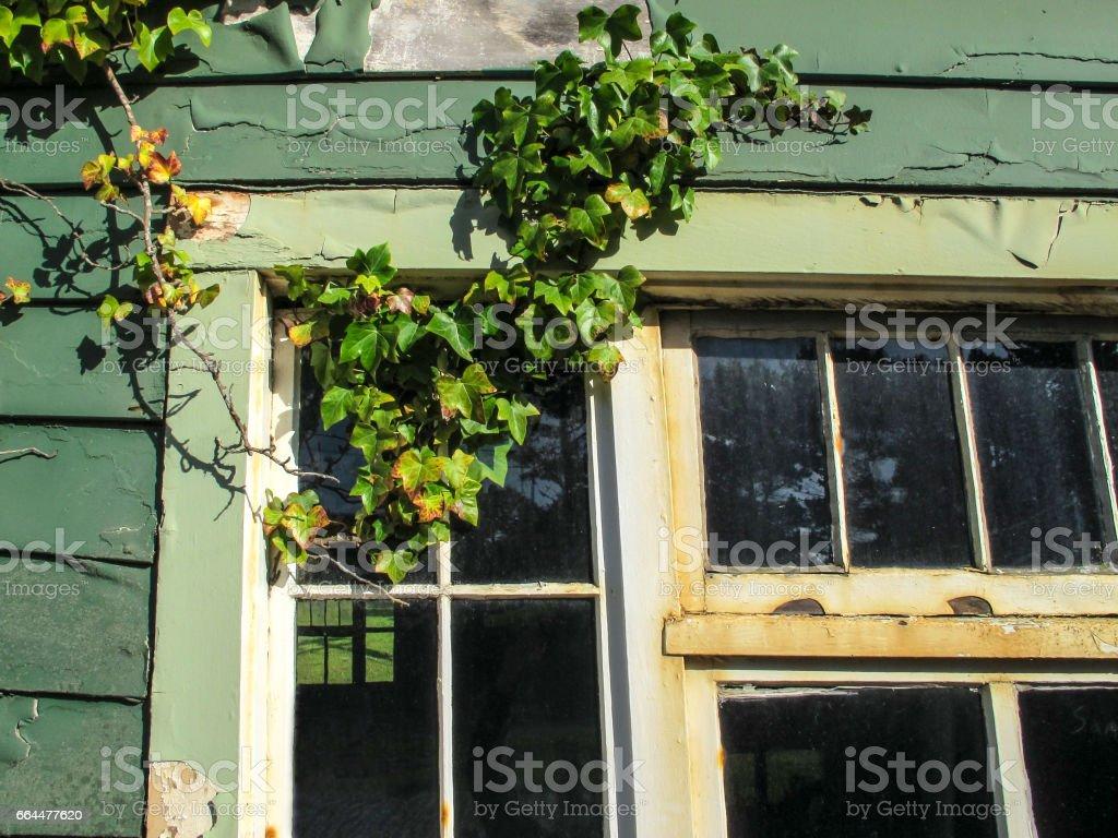 Ivy and window stock photo