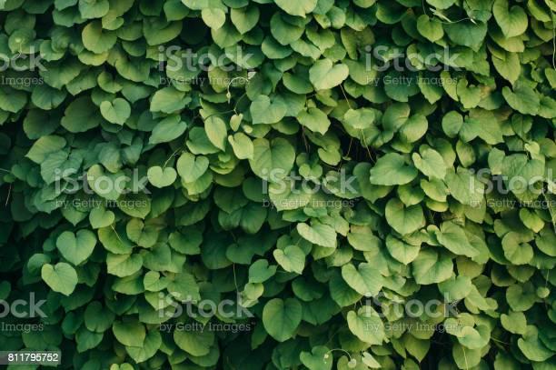 Photo of Ivy background