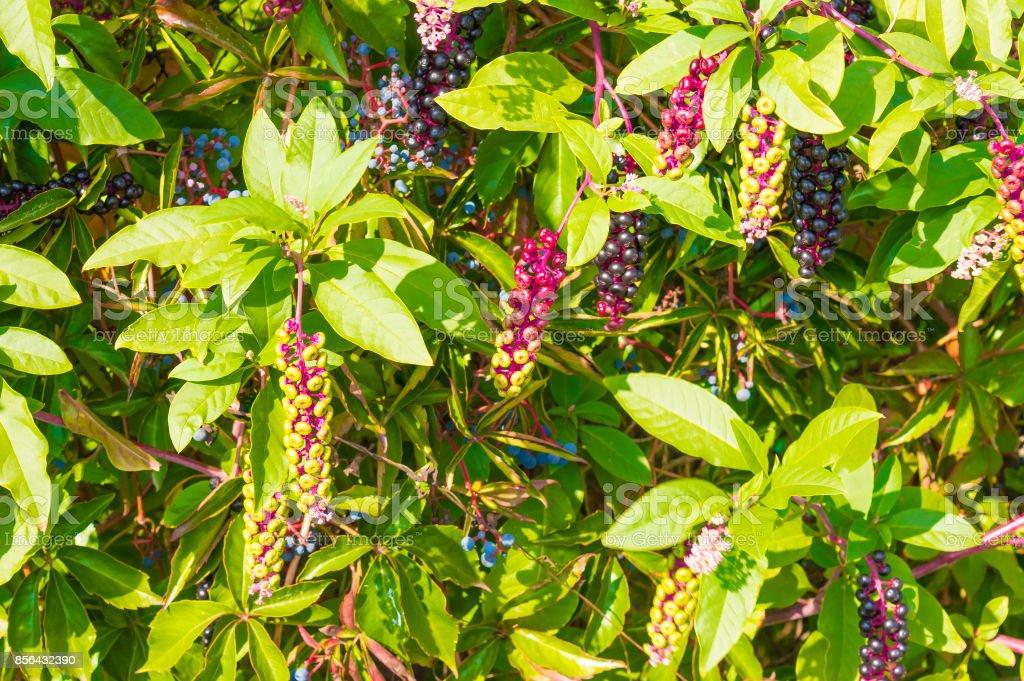 ivy berries stock photo