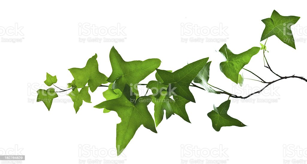 Ivy branch isolated on white royalty-free stock photo