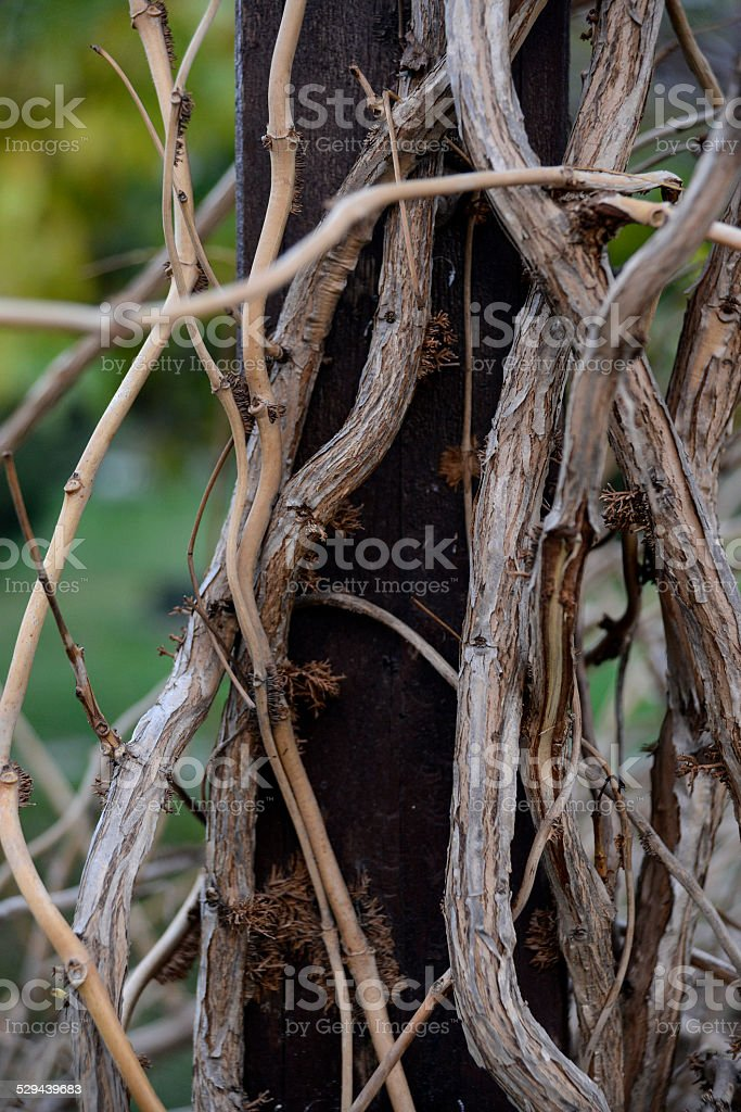 Ivy Branches stock photo