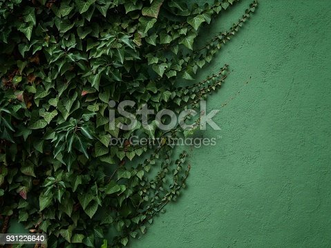 Ivy climbing on a wal